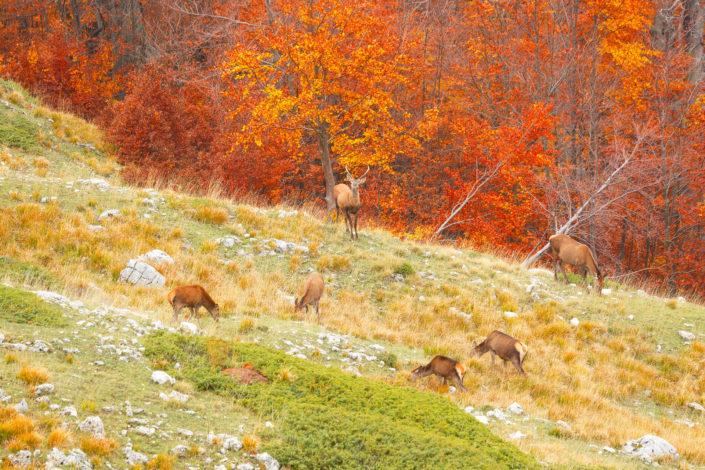 cervi abruzzo autunno